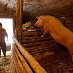 В Калининградской области домашней свинины больше не будет