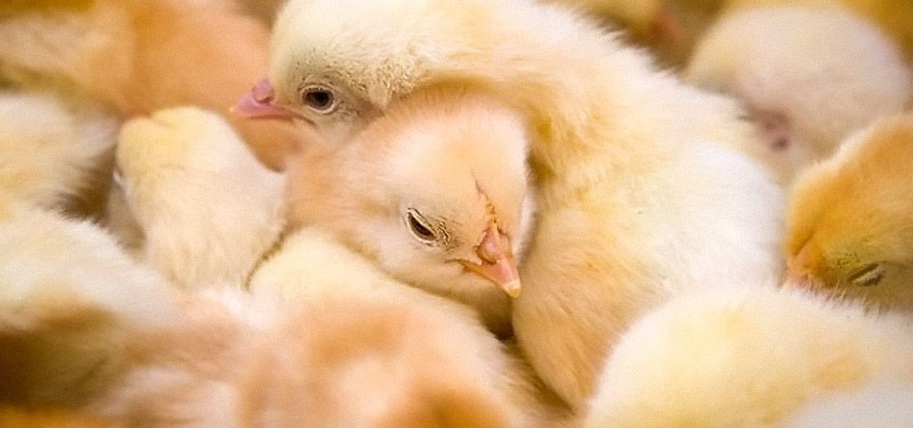 Тюменская птицефабрика обновляется и расширяется
