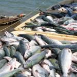Дальневосточная рыба  приплывет в центральную часть России