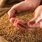 Российское зерно из своих семян