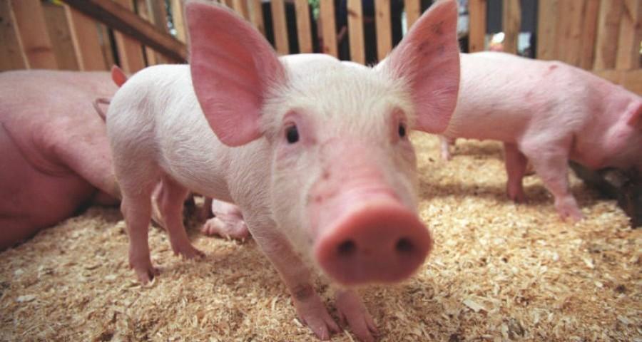 В Ставропольском крае принимают меры по защите свиней от африканской чумы