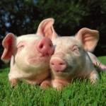 Настоящее  и будущее свиноводства в Камчатском крае