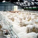 Томским частникам, выращивающим сельскохозяйственных животных, выделяются дополнительные субсидии