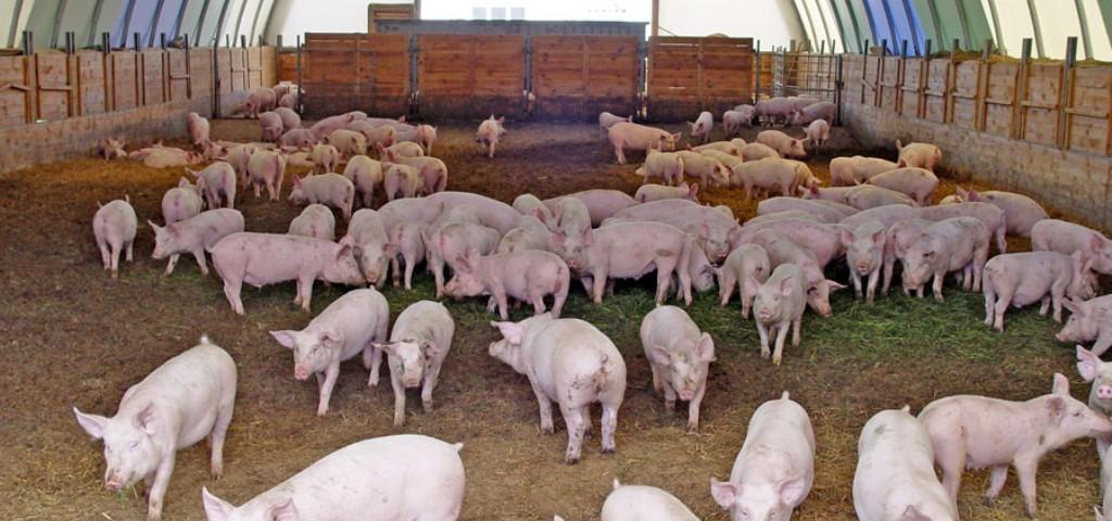 Ростовская область пополнилась еще одним свиноводческим комплексом