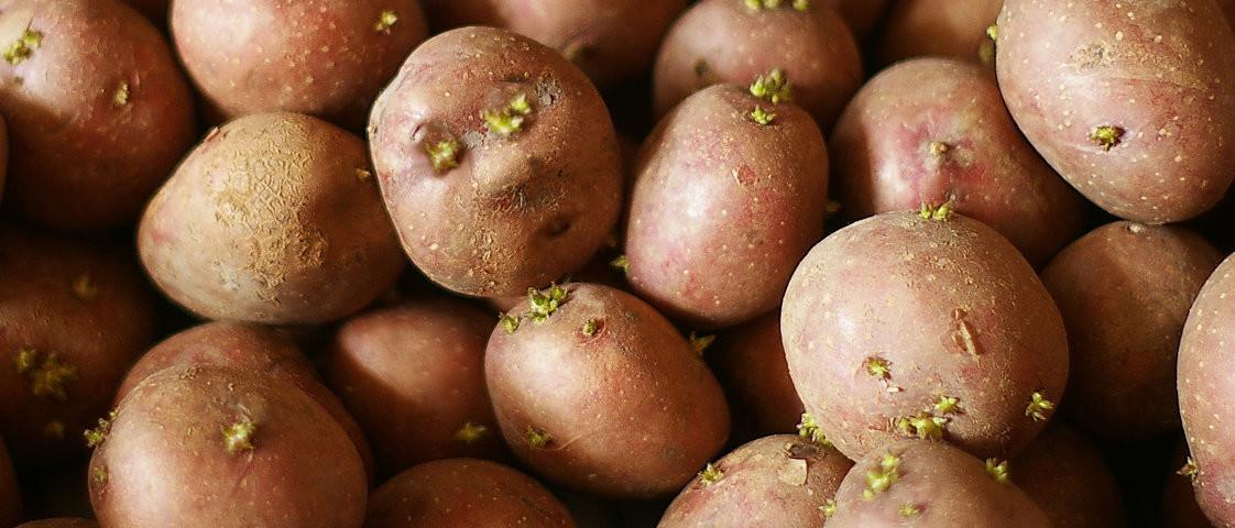 В Калининградской области будут выращивать элитные семена картофеля