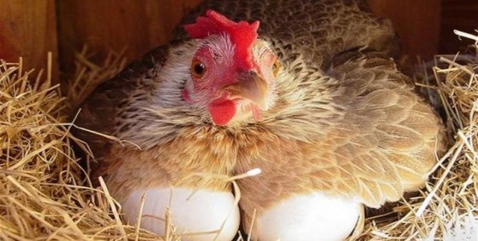 Производство куриного мяса и яиц переспектива развития отросли