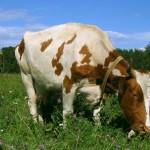 Споры вокруг молока от лейкозных коров