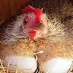 Производство куриного мяса и яиц. Перспектива развития отрасли