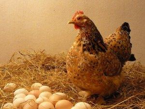 Курица с яйцами