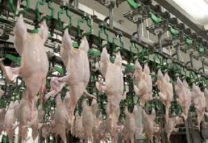Производство куриного мяса
