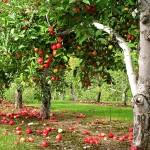 «Разводите сады и ешьте плоды их…»