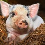 В Орловской области выращивать свиней пока не будут