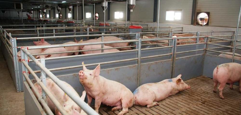 свиноводческий комплекс