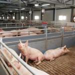 Жители Калининградской области не желают иметь в соседях свиноводческий комплекс