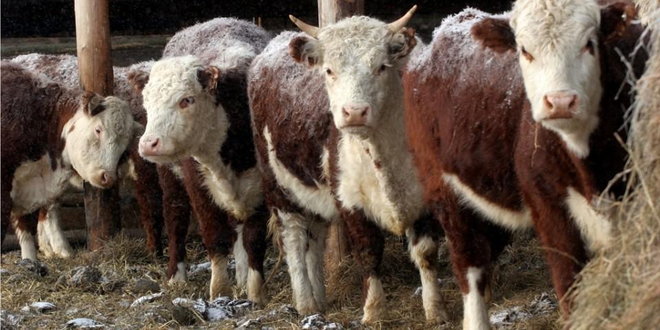 Сахалинские фермеры перенимают опыт выращивания герефордов