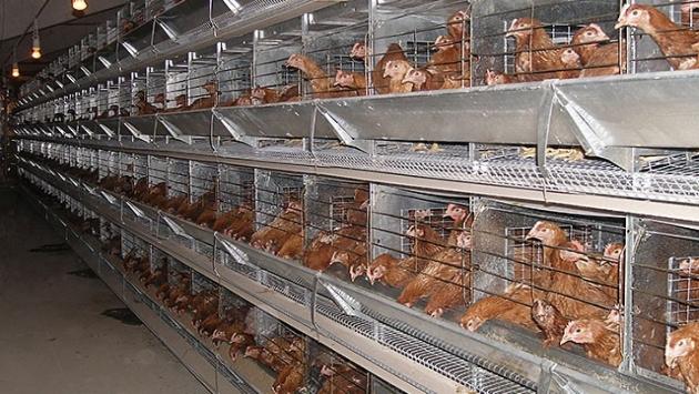 Бройлеры птицефабрики «Васильевская» в Казахстане попали в черный список