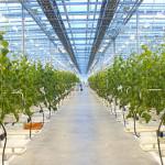 Московская область обрастает современными тепличными хозяйствами