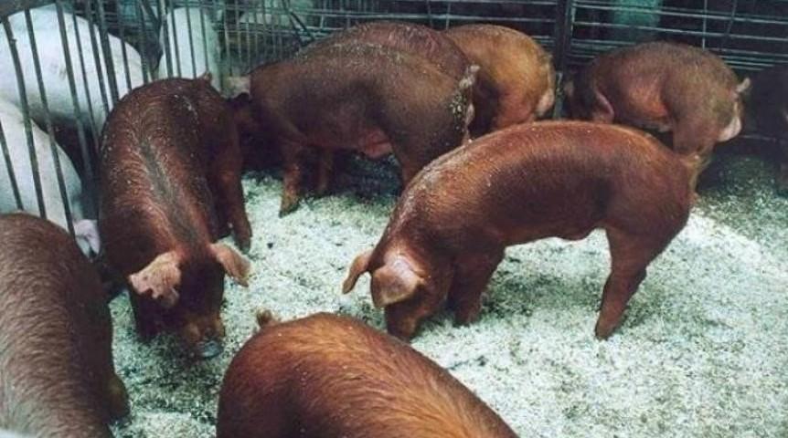 Канадские свиньи «дюрок» прибыли на белгородскую землю