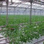 В Сочи развивают тепличные хозяйства