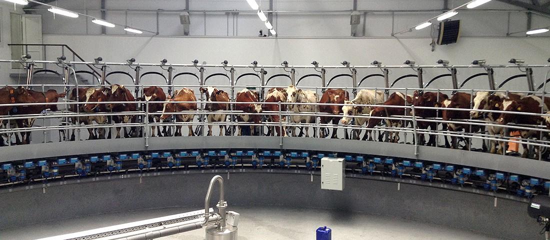 В Ленинградской области молочнотоварных ферм становится все больше