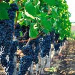 Виноградная  и винодельческая отрасль в  России получит финансовую государственную помощь