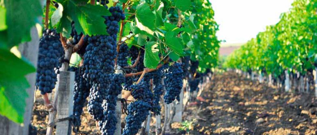 Виноградная и винодельческая отрасль в России
