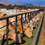 В Чеченской республике ускоренными темпами развивают животноводческую отрасль