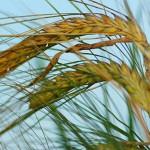 Из Казахстана в Россию ввезли злостный сорняк под видом пшеницы