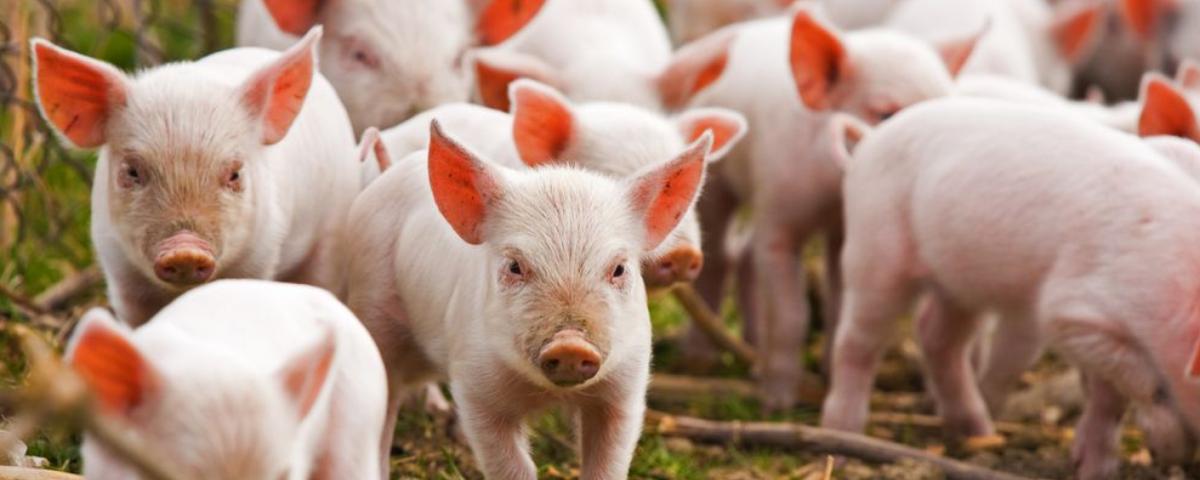 Свиноводы Приморья бьют тревогу в связи с новым Техрегламентом