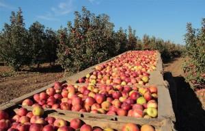 В Адыгее успешно развивается растениеводческая отрасль сельского хозяйства