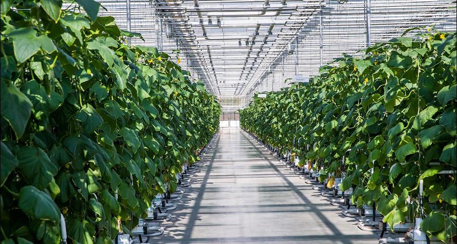 ООО «Инг-Агро» обещает вырастить в 2016 году 100 тонн свежих тепличных огурцов