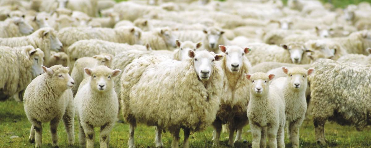 Ставропольская овца