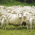 На Ставропольской конференции рассматривался вопрос развития в регионе овцеводства и козоводства