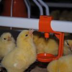 В Челябинской области будет построен племенной репродуктор бройлерных цыплят