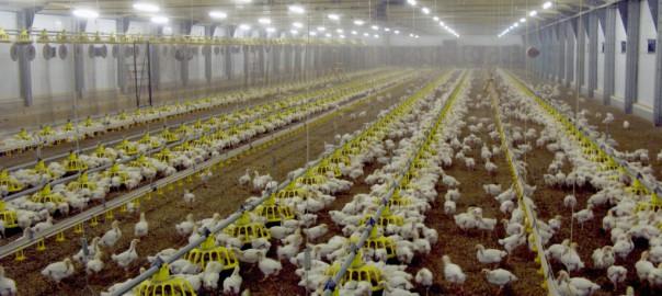 Псковская птицефабрика «Борки» увеличивает количество птицы