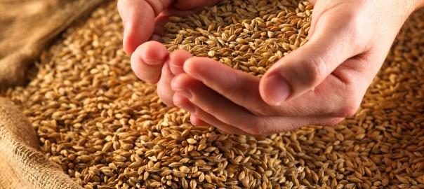 Новые сорта зерновых культур создают для выращивания в Красноярском крае