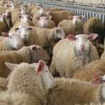 В Амурской области начинает возрождаться овцеводство