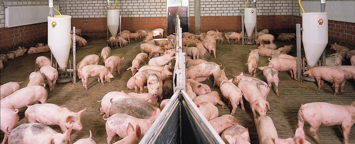 Орловским сельхозпроизводителям предлагают компенсацию за отказ от разведения свиней