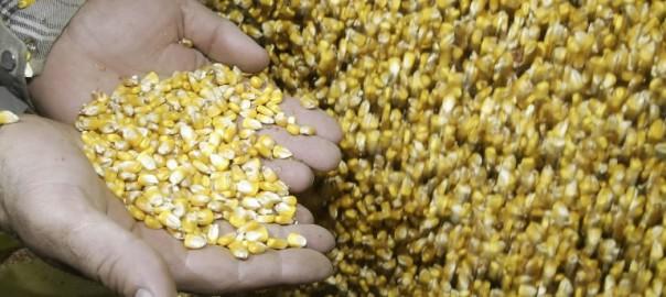 Амурские овощеводы будут постепенно отказываться от использования семян зарубежной селекции