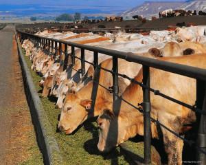 Основные направления развития отечественного животноводства