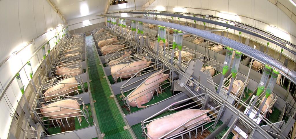 На базе агрохолдинга «Юбилейный» действует селекционный центр по гибридизации свиней
