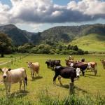 На Сахалине молоко будут получать от новозеландских коров