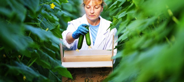 Агрофирма «Круглый год» увеличивает объемы производства тепличных овощей