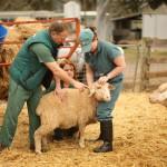 Новгородские студенты Агротехнического техникума будут на деле осваивать азы животноводства