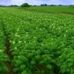 Эффективные технологии выращивания картофеля разрабатывают в Костроме