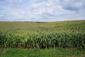 Объемы выращивания кукурузы в России