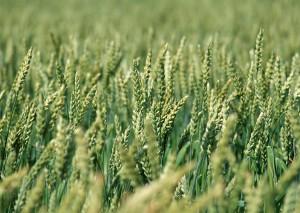Ростки зеленой пшеницы