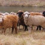 Вагановские овцы бьют рекорды по весу и репродуктивности