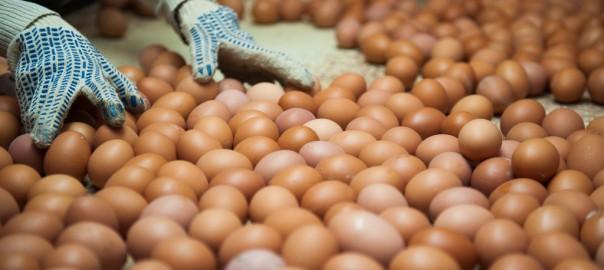 Как развивается яичное птицеводство в России