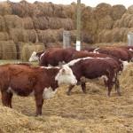 Как выращивает крупный рогатый скот молодой частник